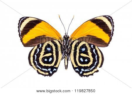 Beautiful colorful dotted butterfly with black and yellow wings isolated on white. Callicore excelsior.