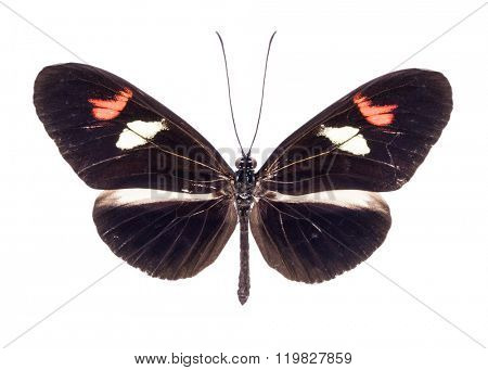 Heliconius melpomene. Beautiful colorful butterfly with brown and orange wings isolated on white. Ithomiidae, Narrow-Wings