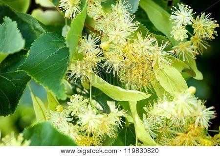 Linden Tree blossom