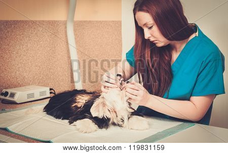 Veterinarian with small dog under anesthesia ready for an operation.