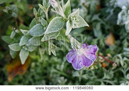 Petunie in frost