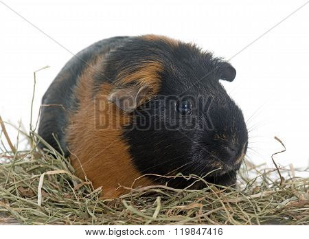 Guinea Pig On Hay