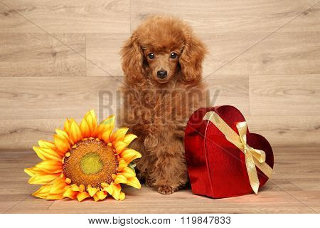 Toy Poodle On Wooden Background