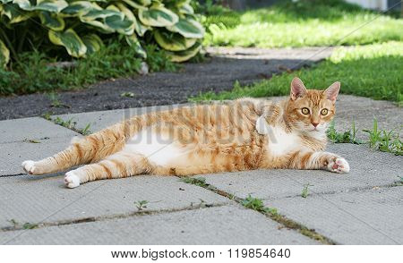 Orange serious cat in the street. Big cat relaxing on sunny day.Serious cat outside, brown cat, stro
