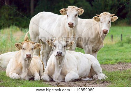 Group Of White Beige Cows Posing In Meadow
