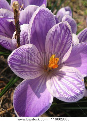 Purple crocus flowers in spring