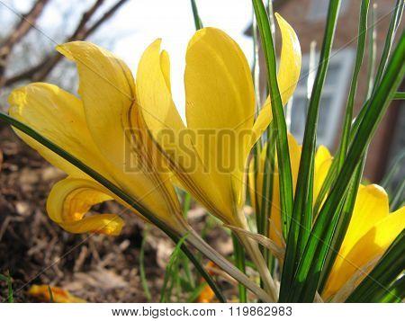 Yellow crocus flowers in spring