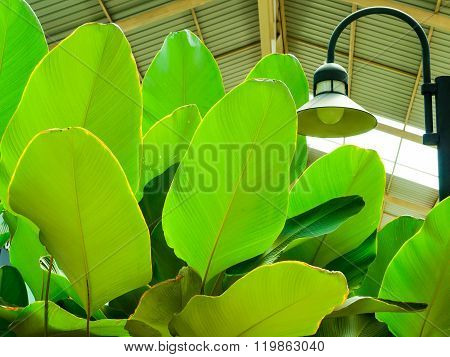 Cigar Flower Plant or Calathea lutea