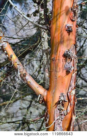 Bark Of A Tree