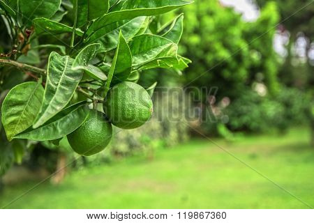 Lime tree fruits