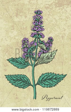 Peppermint herb with leaves and flowers, hand drawn vector illustration, color version on ancient background