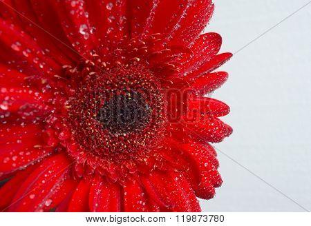 Drops Of Dew On The Gerbera