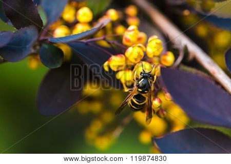 Branch Of A Blossoming Spring Berberis Ottawensis
