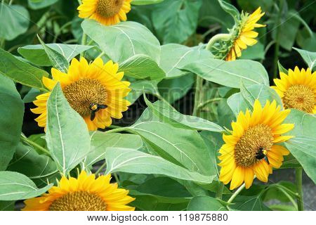 Sunflowers with bumble bees