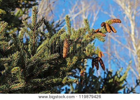 Pine cones on green branches with needles.