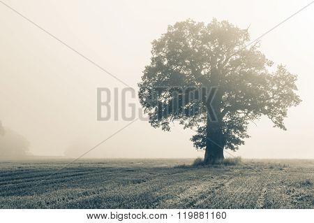 Single Big Oak Tree On A Field In Backlight