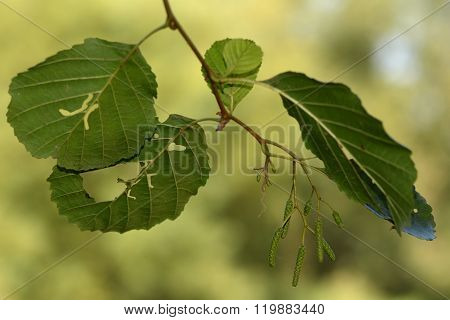 Alder (Alnus glutinosa) with holes in leaves