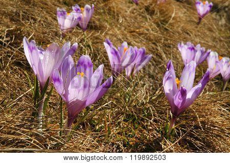 Purple Crocus Flowers In The Spring