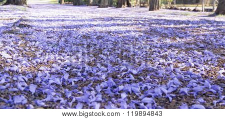 Suburban Road With Jacaranda Trees And Small Flowers Making A Carpet