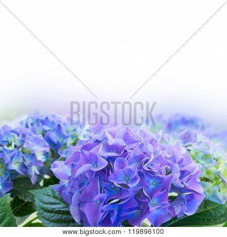 border of blue hortensia flowers