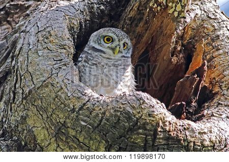 Spotted Owlet Athene Brama Nest In Tree Hollow