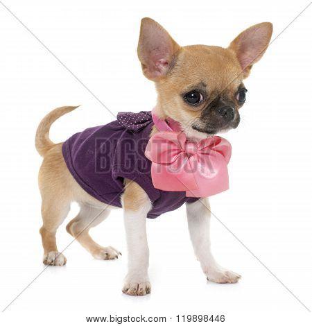 Dressed Puppy Shorthair Chihuahua