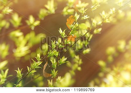 Spring leaves lit by sunbeams - sun rays