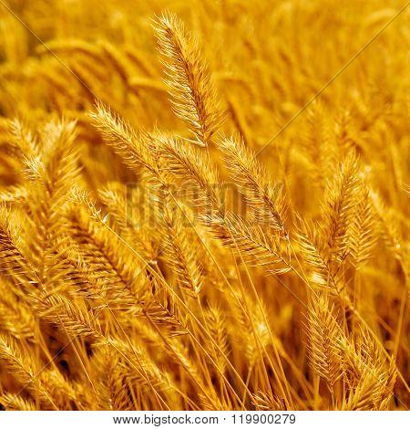 Autumn prairie grass.