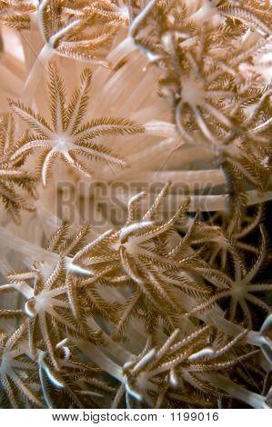 Anemone, Soft Coral