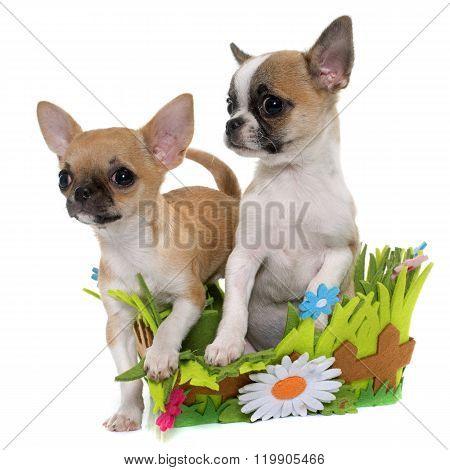 Puppies Shorthair Chihuahua