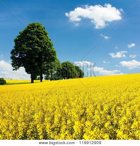 View Of Flowering Field Of Rapeseed With Trees
