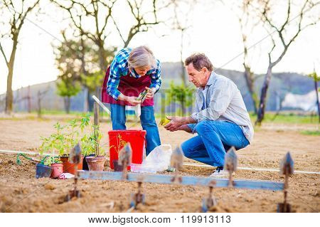Senior couple planting seedlings into the ground, garden