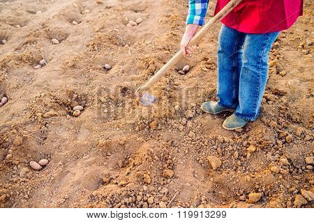 Unrecognizable senior woman planting potatoes in a row into gro