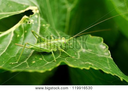 Bright green grasshopper sitting on a shiny green leaf