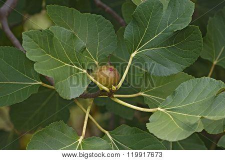 Commomn Fig (ficus Carica)