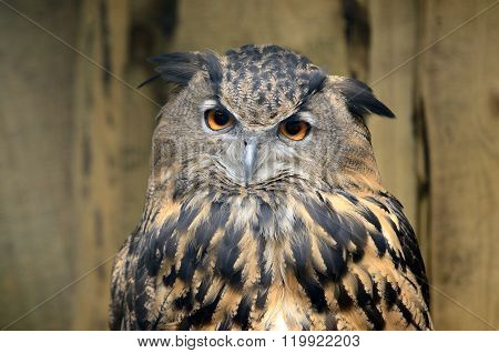 The great eagle-owl Bubo bubo over wood background
