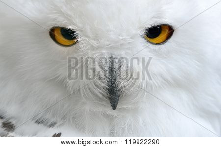 White polar owl face closeup. Carnivorous bird with amber eyes.