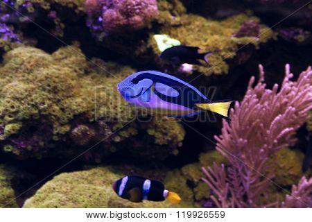Blue Tang, Regal Tang Paracanthurus Hepatus
