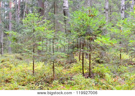 Pine Forest At Autumn.