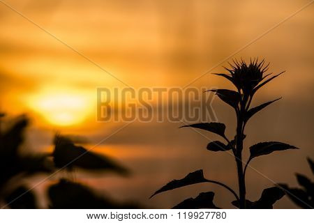 Sillouette Of Sun Flower At Sunset Time