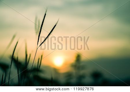 Sillouette Of Grass Flowers At Sunset Time - Soft Focus Of Grass Flowers Shadow
