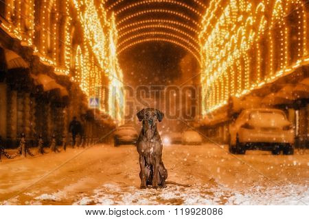 Rhodesian Ridgeback dog in the night city