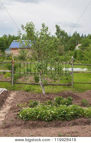 A Little Apple-tree Grows In A Garden