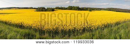 Flowering Field Of Rapeseed - Brassica Napus