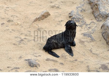 Baby Cape Fur Seal