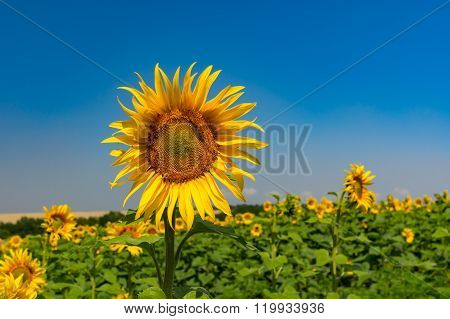 Agricultural field with beautiful sunflower at against blue sky