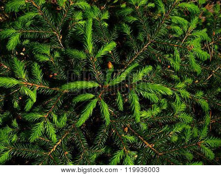 Background of young green fir tree branches