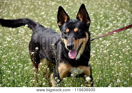 Funny Dog In Meadow