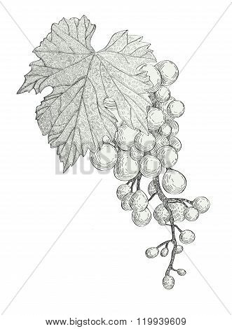 hand drawn bunch of grapes isolated on white background