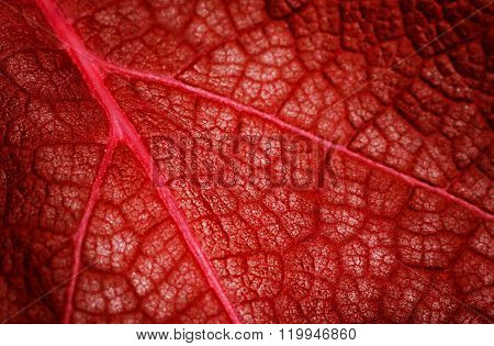 Closeup Of Red Autumn Leaf Texture, Creative Background For Your Design
